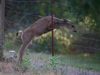 A Deer Jumping Through Fence