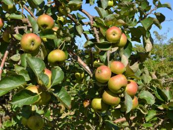 Sandhill Organic mixed variety apple juice in the making