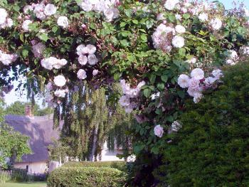 Rose arch above drive