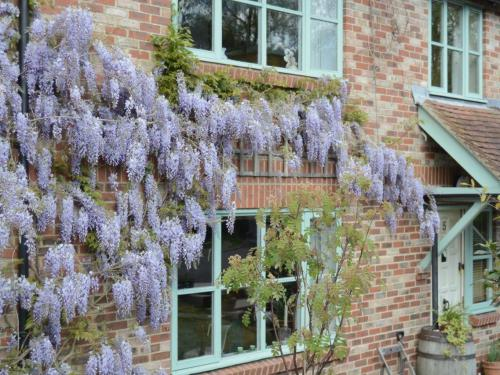 Wisteria in bloom at  Charlton Mill