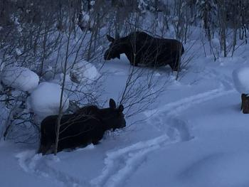Moose are frequent visitors to the area