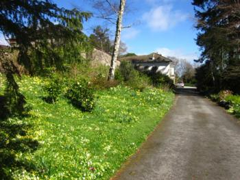 The carriage drive in Spring with carpets of primroses and daffodils