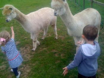 our own alpacas
