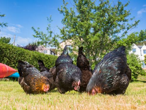 The croft chickens