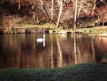 Swan in Lathkill Dale