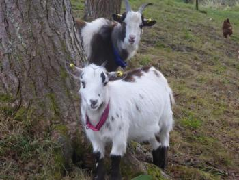 Friendly goats in the garden