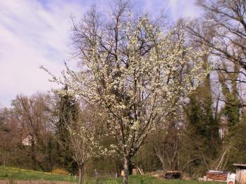 Au printemps, dans le potager promesse de tartes aux mirabelles