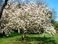 Magnolia in full blossom in April