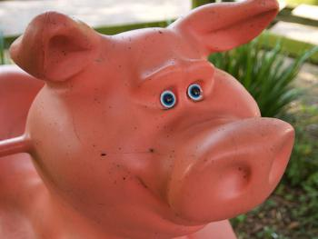 Pig on the park