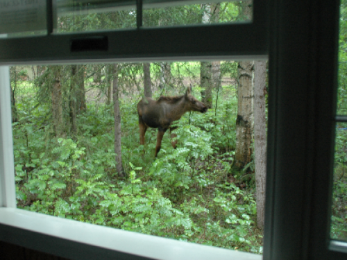 Visiting moose seen from the family room