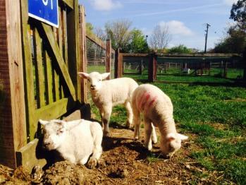 Baby Lambs on the farm!