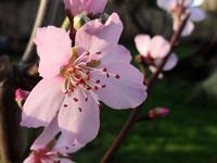 January Almond Blossom