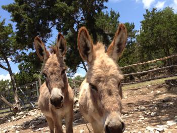 Juniper Hills Farm Donkeys