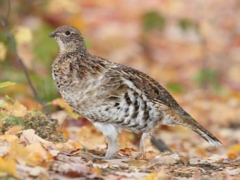 Ruffed Grouse - frequent visitor