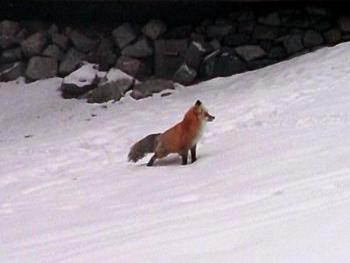 Roscoe Fox...  local wildlife
