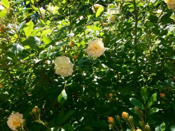 Der Rosenbusch auf der Terrasse