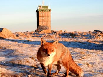Fuchs im Winter am Brocken