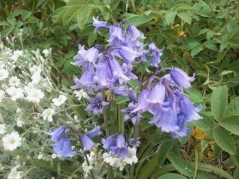 Bluebells of Scotland
