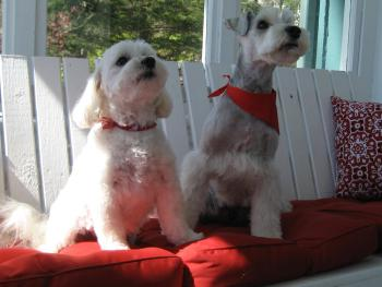 "Our welcoming committee - Maltese ""Jamie"" and Schnauzer ""Wylie"""