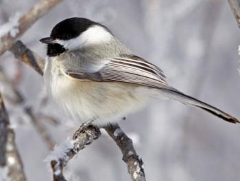 Chickadee - one of many songbirds on our property