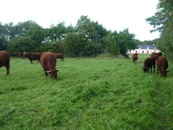 Les vaches salers