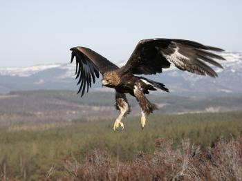 Bird watching - Golden Eagle