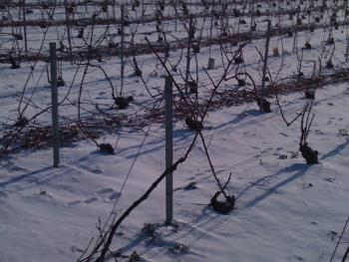 Vignes en temps de neige