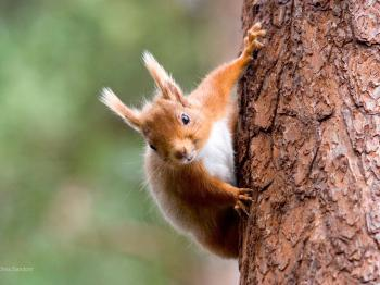 Wildlife safari - Red Squirrel