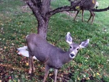Deer at the crabapple tree outside living room window