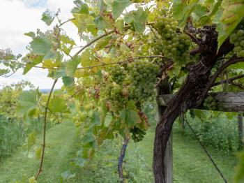 Grapes on the vine at Galena Cellars Vineyard & Winery