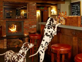 Dalmation at Bar