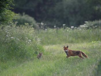 Foxes on the farm