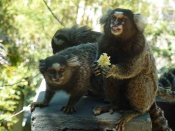 Our special breakfast guests! - Marmoset monkeys enjoying banana tidbits in our front gardens.