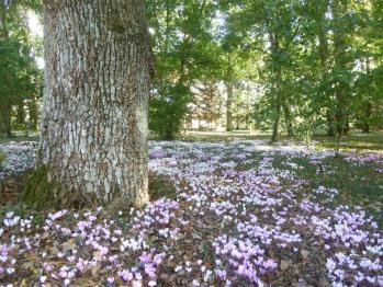 Les cyclamens sous les arbres