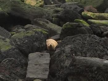 Walk along the beach to see the Grey Seals