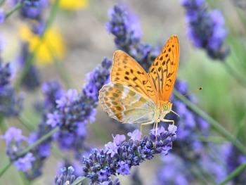 Papillon sur les lavandes
