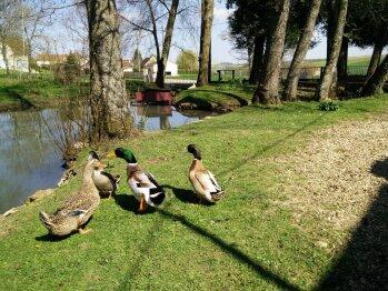 Les canards de La Barbotière