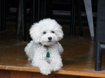 """Monsieur Petit"", our friendly miniature poodle"