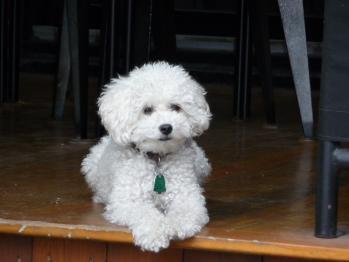 """""""Monsieur Petit"""", our friendly miniature poodle"""