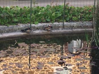 Les canards Daffy et Duck !
