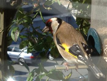 George The Goldfinch Is One Of The Garden Visitors (he does not like Tinks)