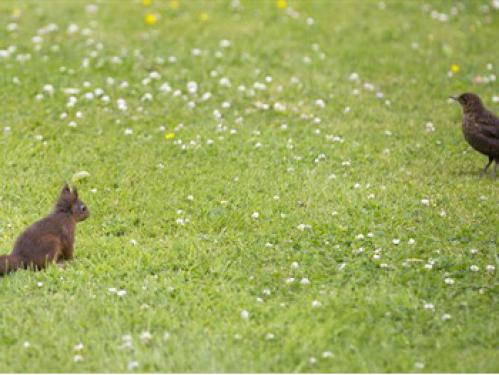 Red squirrel playing in garden
