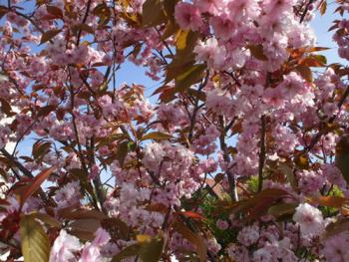 Flowering cherries at Seamill