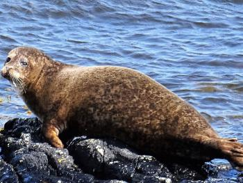Pitullie has a huge seal population and they can be seen daily basking on the rocks when the tide goes out or fishing for lunch in the sea