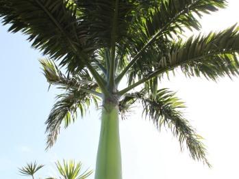Palmier Royal du Domaine