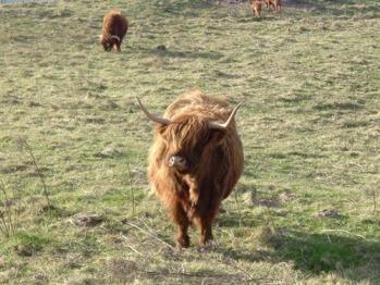 Highland cattle near Carlton Seamill