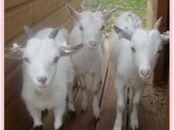 Pygmy Goats