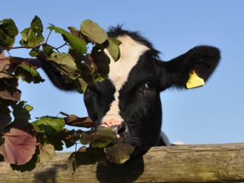 Cow leaning over cottages fence!