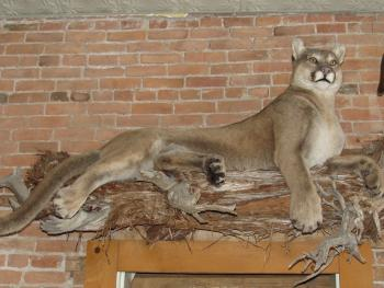 A beautiful mountain lion prepared by our town taxidermy hangs above the entrance of one office.