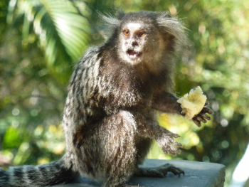 """Guests for breakfast!  Local """"saguí"""" monkeys or """"micos"""" (a type of marmaset) appear for a photo session in the trees at our front entrance, in exchange for some banana chunks from our guests."""